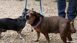 Serena and Venus are seven year old doxiey-chihuahua