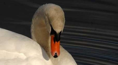 A mute swan swims in Main Pond at