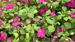 Impatiens plants infected with downy mildew on the