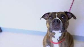 Sheena is a loyal and friendly 5-1/2-year-old boxer-pit