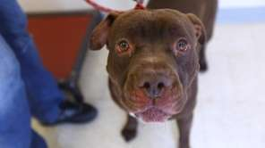 Bear is a sweet and mellow 4-year-old pit
