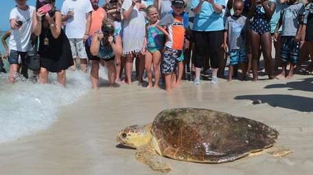 A loggerhead sea turtle, is released back into