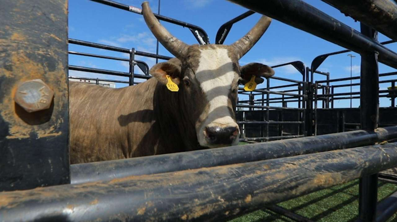 Professional bull riders gathered to prepare on Friday,
