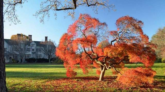 A Japanese maple in full regalia at Planting