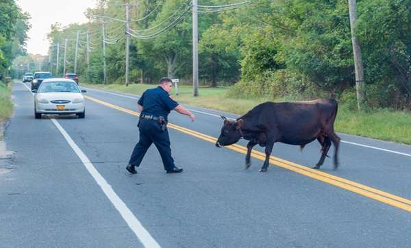 A loose bull is seen in Yaphank on