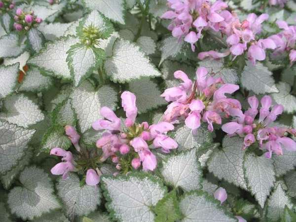 Lamium is a ground cover that would be