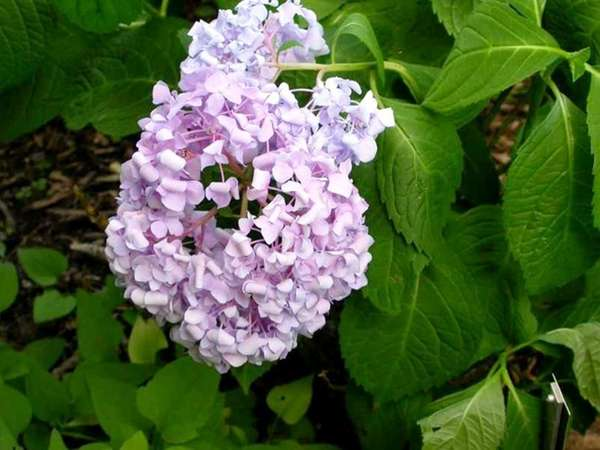 Pictured: Hydrangea macrophylla. For LI Life Section /