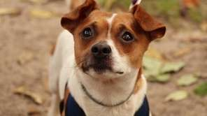 Mikey is a 1 1/2-year-old male Jack Russell
