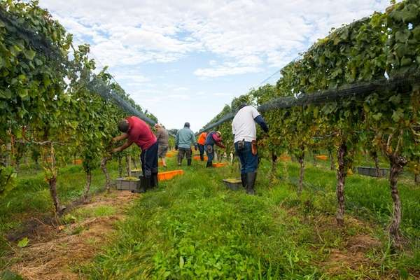 Workers harvest Chardonnay on Friday, Oct. 6, 2017