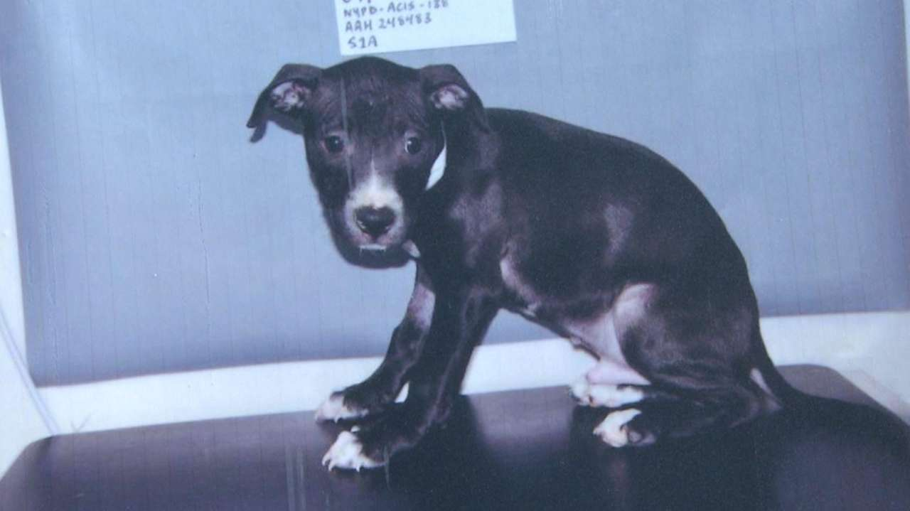 Wyandanch men plead guilty in dogfighting probe, state AG