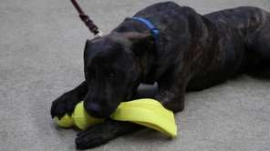 Oscar is a 6-month-old boxer/lab mix puppy that