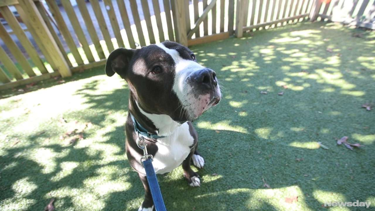 Bernie is a black 6-year-old pit bull terrier.