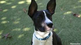 Quinn is a 7-month-old male puppy with a