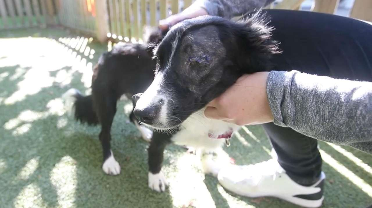 Fiona is a 1-eyed mini border collie mix