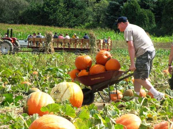 A man wheels pumpkins at Hank's Pumpkintown in