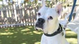 Jasper is a 7-year-old boxer mix and is