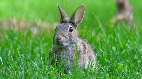 A reader has noticed a big bunny population