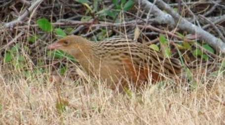 A corncrake was found off the Ocean Parkway