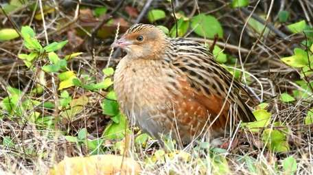 A corncrake, which is rarely seen in this