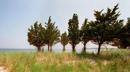 Atlantic white cedars, seen at the edge of