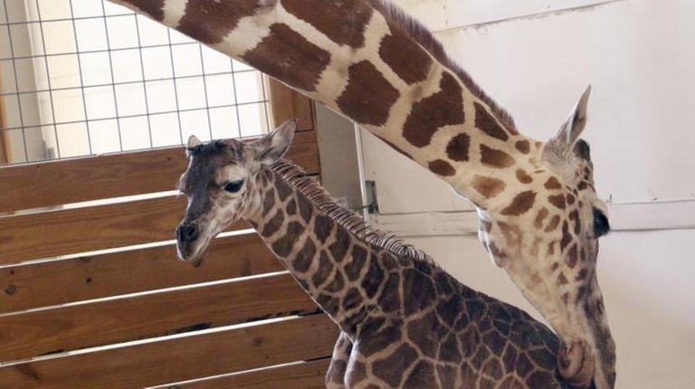 April the giraffe licks her new calf, Tajiri,