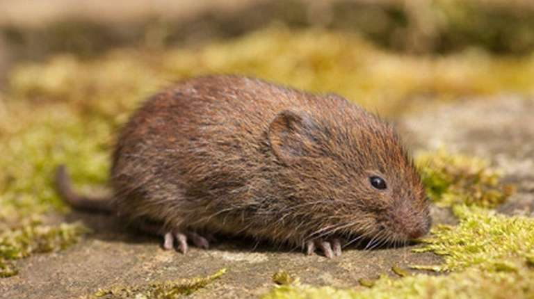 The best way of eliminating voles is to
