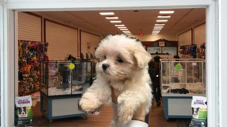 The Maltese puppy that police say was dognapped