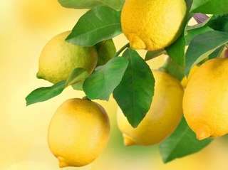Lemons can be grown from seed, but you