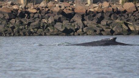The Atlantic Marine Conservation Society said Thursday, Nov.