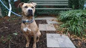 Holly is a 2-year-old American Staffordshire terrier mix.