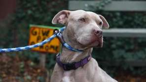 Aria is a 4-year-old pit bull. She would