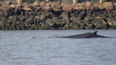 The humpback whale, shown Thursday, Nov. 16, 207,