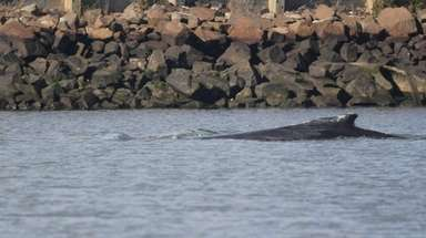 The humpback whale, shown Thursday, Nov. 16, 207,