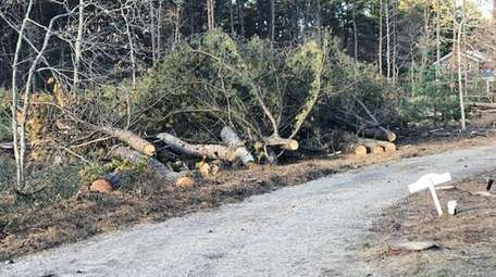 Trees infested by the southern pine beetle were