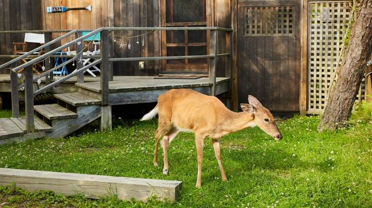 A deer grazes outside a beach house in