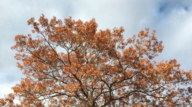 Oak trees growing in reader Diane Kerley's Holbrook