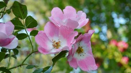Knockout roses can be lightly trimmed during spring