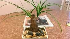 Nancy Labella's ponytail palm can grow by being