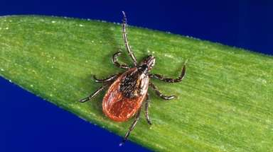 A blacklegged tick, also known as a deer