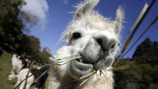 A llama eats in Eltville, western Germany on