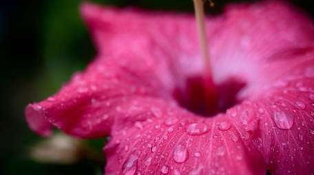 Hibiscus plants should be brought indoors in September,