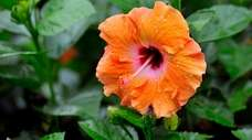 Hibiscus plants are tropical plants that can't survive