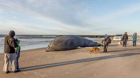 A humpback whale washed up in East Atlantic