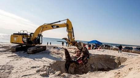 A whale carcass is buried Dec. 27, 2017,