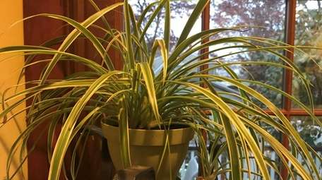 The spider plant in Jessica Damiano's home has