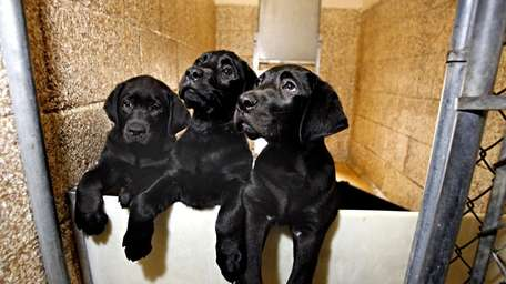 Eight-week-old puppies, 'Chiro', 'Sparky' and 'Slugger', await their