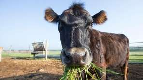 Cow manure is recommended for your garden, but