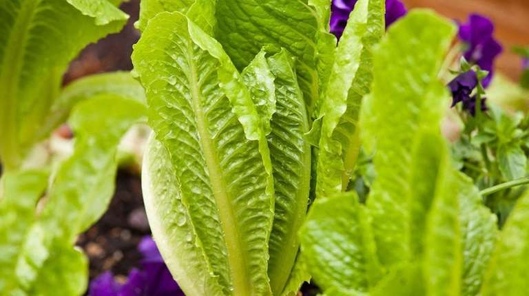 More cases reported in deadly USE coli outbreak linked to leafy greens