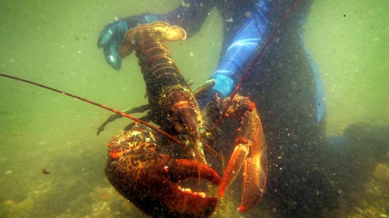 The majority of researchers say lobsters cannot process