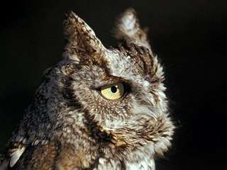 A screech owl sits on the hand of